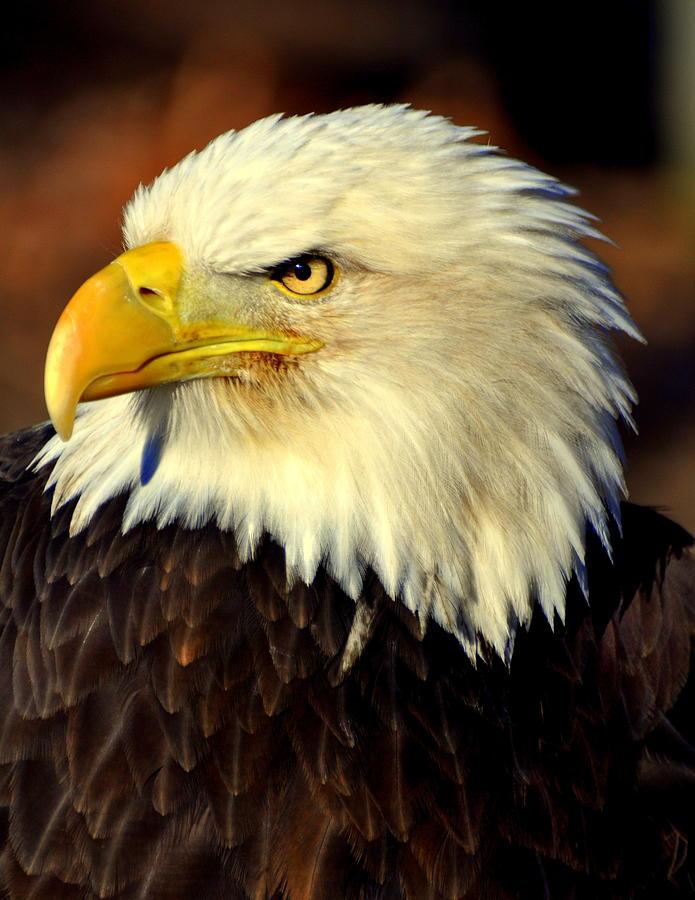 Birds Photograph - Fall Eagle 5 by Marty Koch