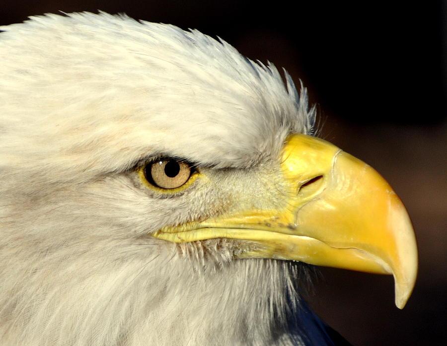 Birds Photograph - Fall Eagle  by Marty Koch