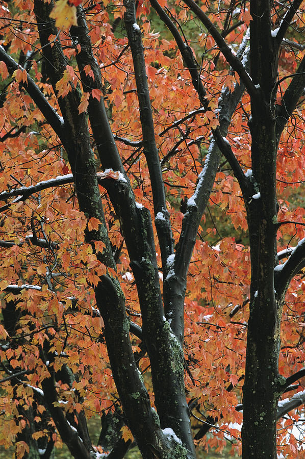 Outdoors Photograph - Fall Foliage Of Maple Trees After An by Tim Laman