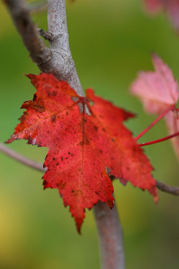 Red Photograph - Fall Leaf by Brady D Hebert