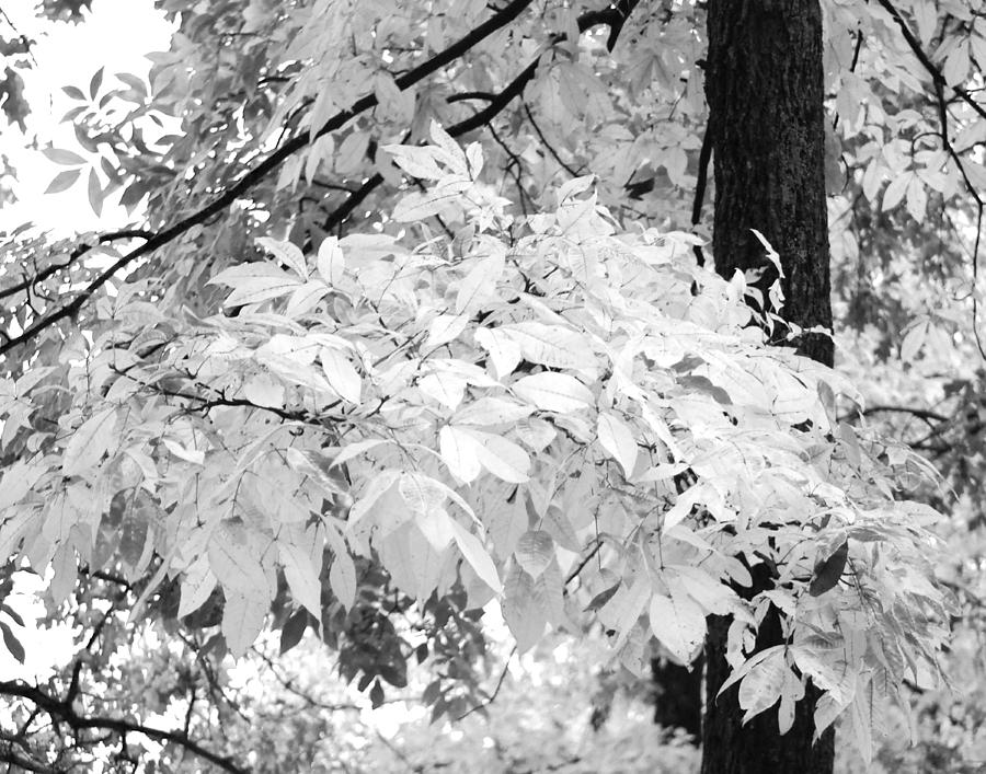 Fall Leaves In Black And White Photograph by Maggy Marsh