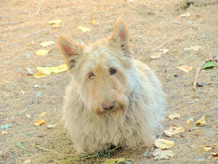 Photograph Photograph - Fall Leaves Scottie by Amy Bradley