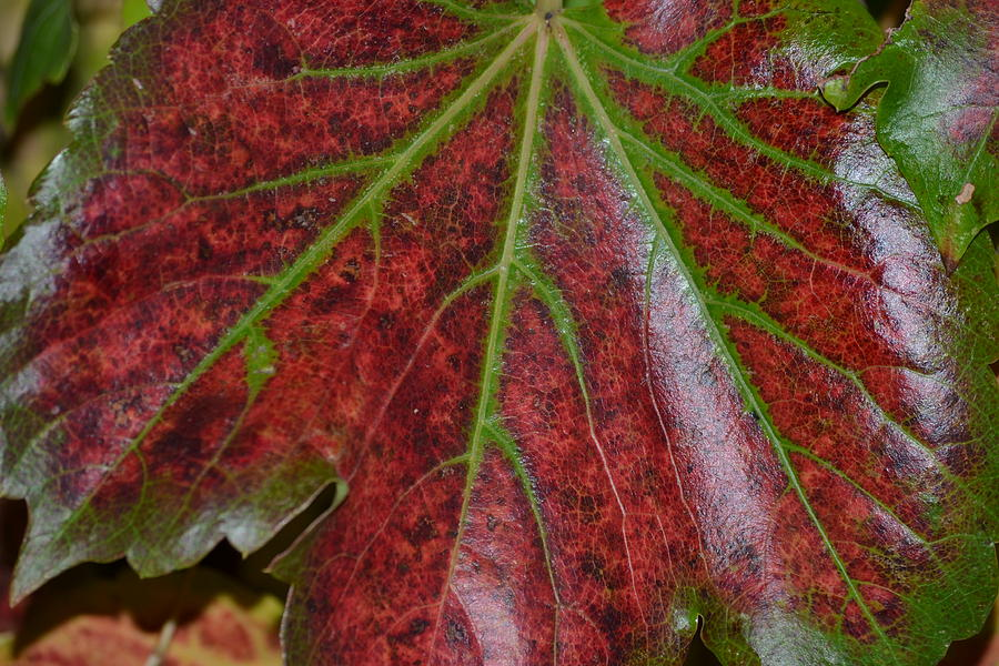 Leaf Photograph - Fall On The Vine by Kim Hymes