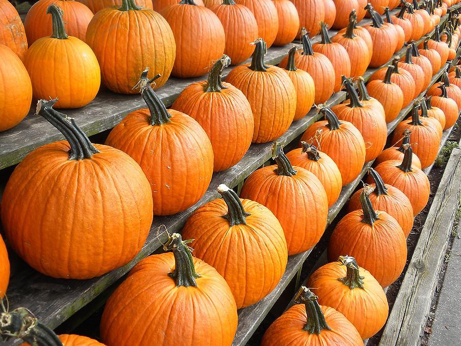 pumpkin photograph fall pumpkins by paulette thomas - Fall Pumpkins