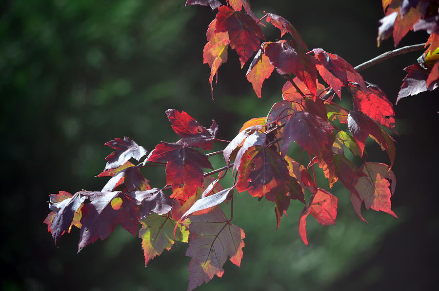 Leaves Photograph - Fall Red by Sandi OReilly