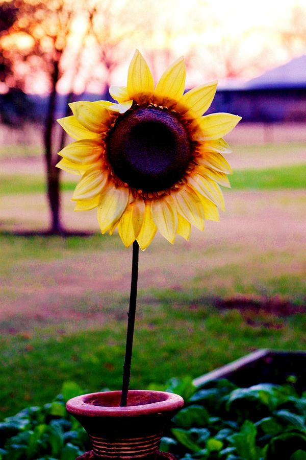 Sunflowers Photograph - Fall Sun by Hannah Miller