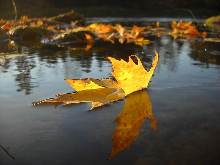 Fallen Maple Leaf Reflection by Kent Lorentzen