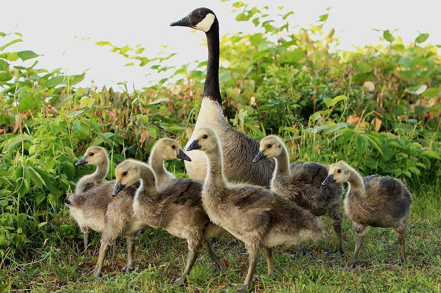 Goose Photograph - Family by John Loreaux