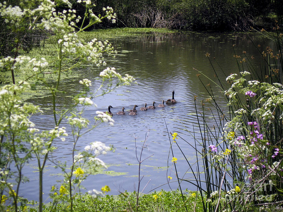 Geese Photograph - Family Swim by Leslie Hunziker