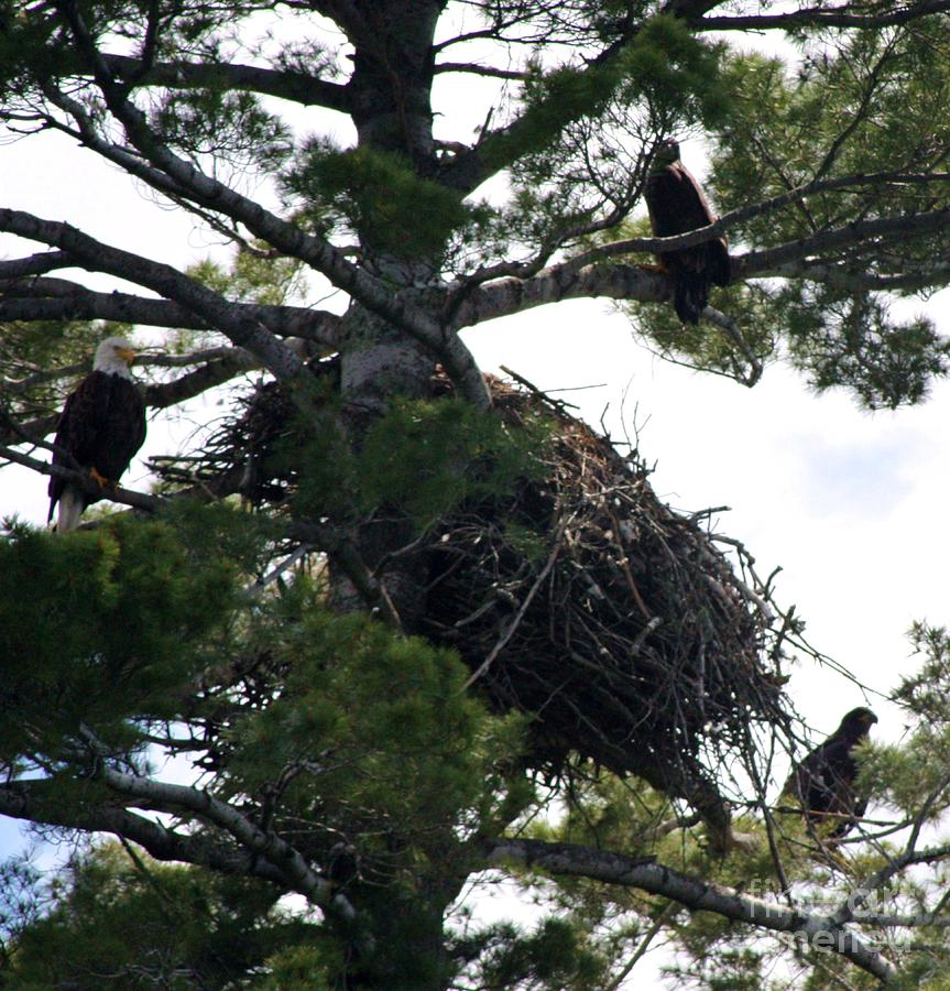Eagle Photograph - Family Tree by Dave Knoll