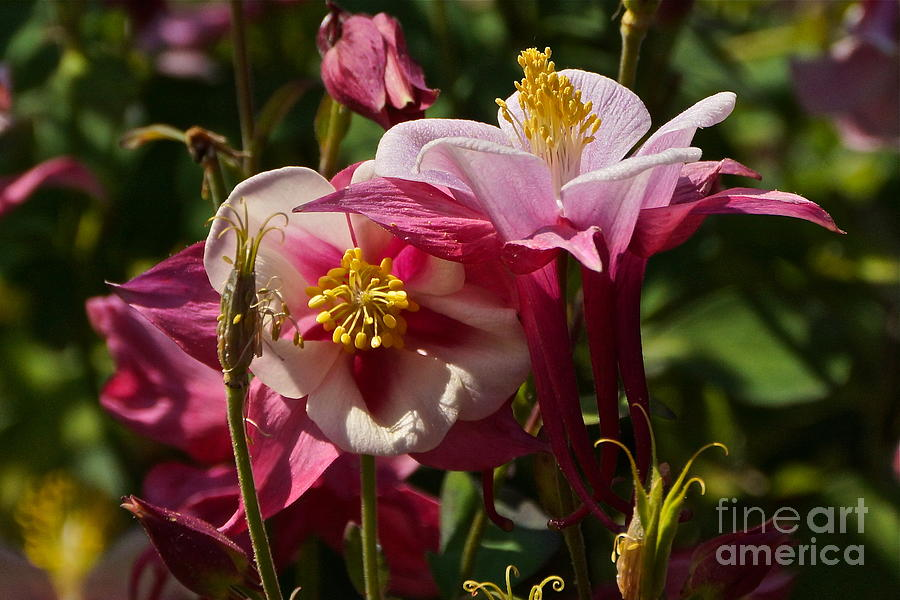 Aquilegia Flabellata Photograph - Fan Columbines by Byron Varvarigos