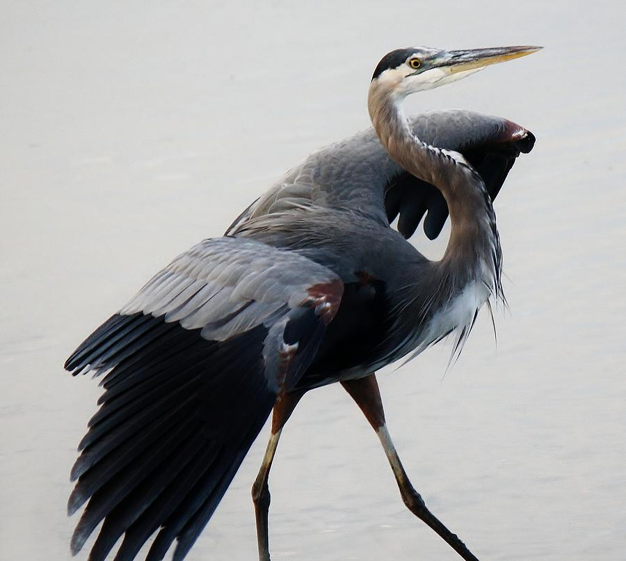 Great Blue Heron Photograph - Fancy by Paulette Thomas