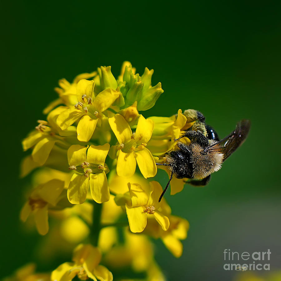 Bee Photograph - Fanfare For The Common Bumblebee by Lois Bryan