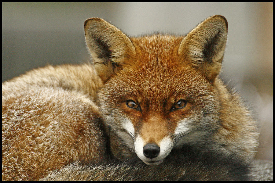 Fox Photograph - Fantastic Mr Fox by Jacqui Collett