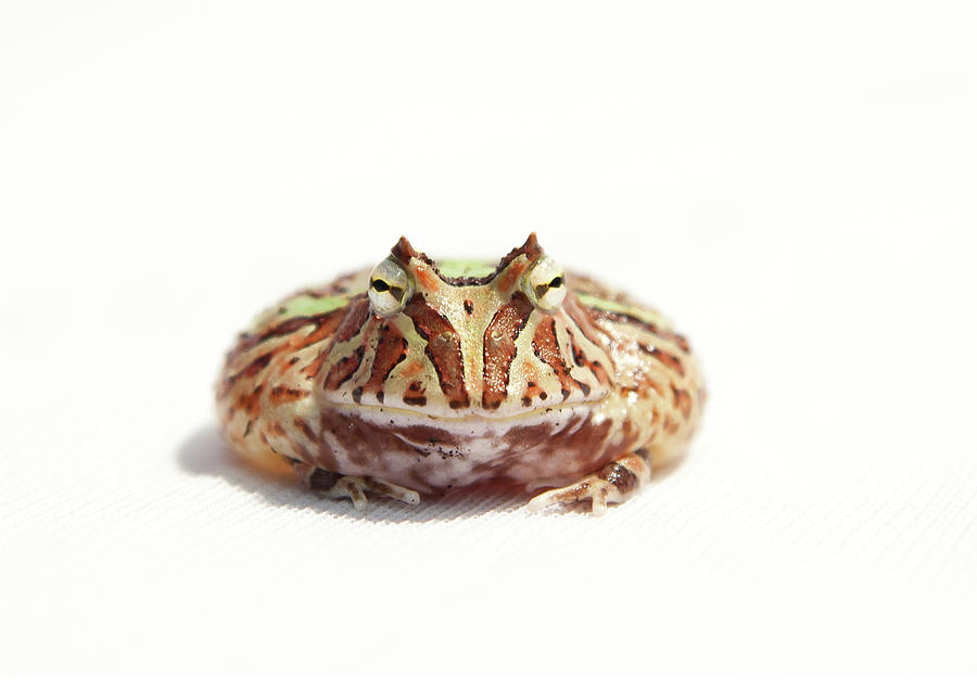 Horizontal Photograph - Fantasy Horned Frog by Www.tommaddick.co.uk