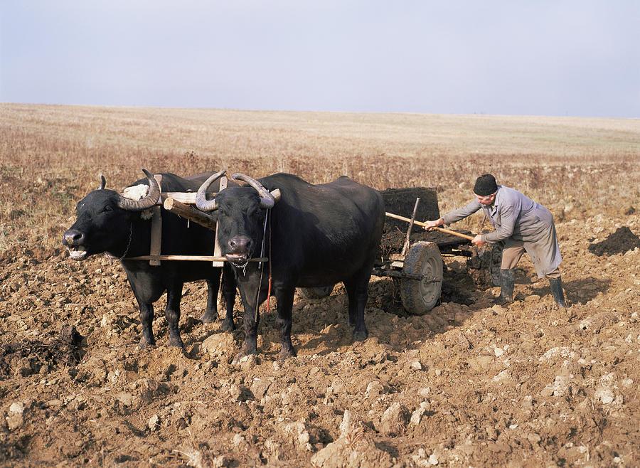 Water Buffalo Photograph - Farmer Fertilising A Field by Bjorn Svensson