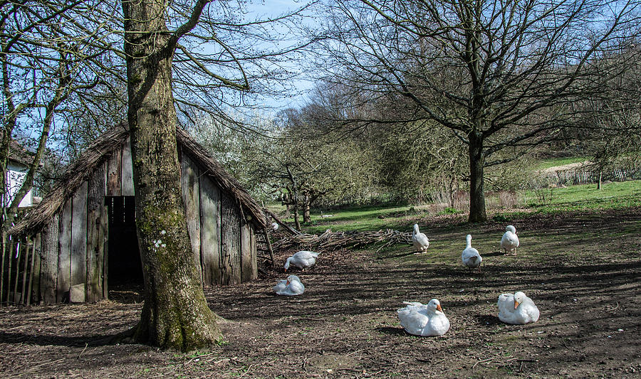 Geese Photograph - Farmyard Geese by Dawn OConnor