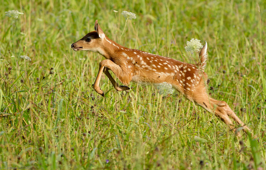 Fawn Bounce  Photograph by Glenn Lawrence
