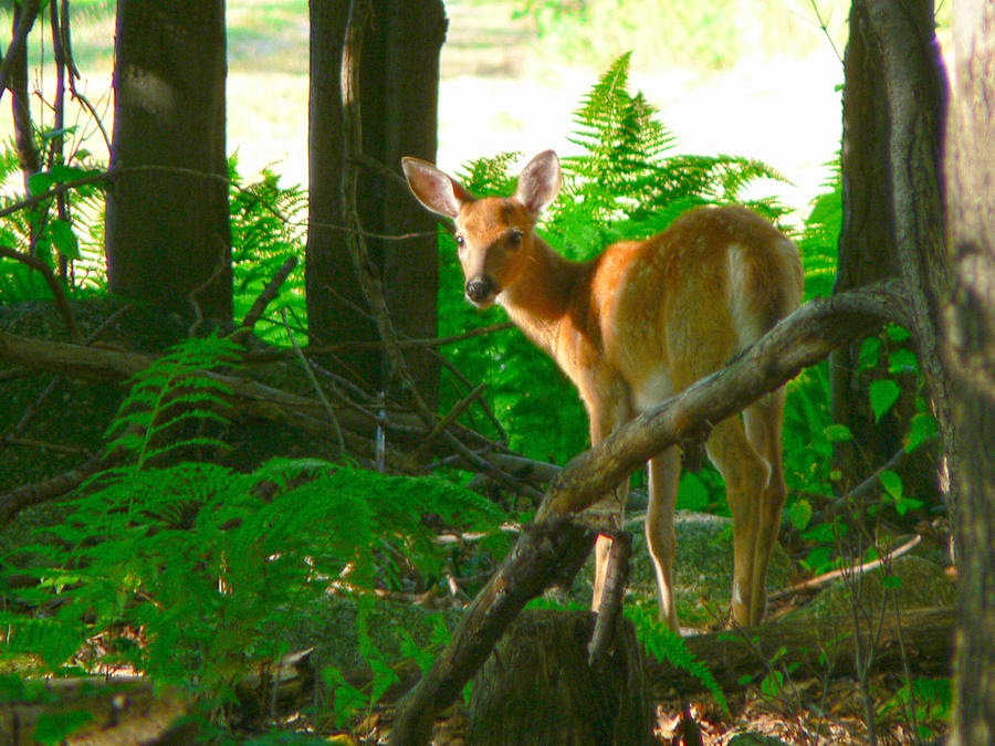 Alert Photograph - Fawn In The Woods by Artistic Photos