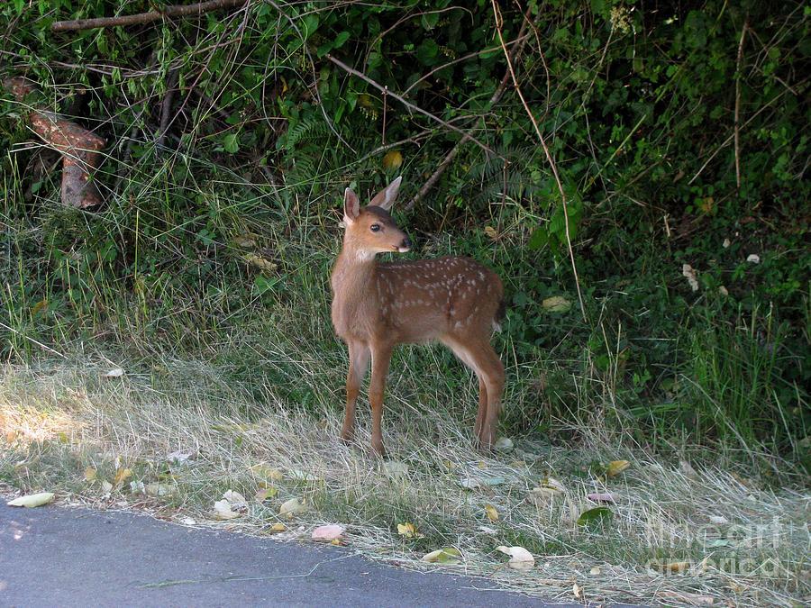 Deer Photograph - Fawn by Marsha Thornton