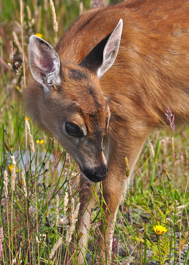 Deer Photograph - Fawn Meets Fly by Guy Kimola
