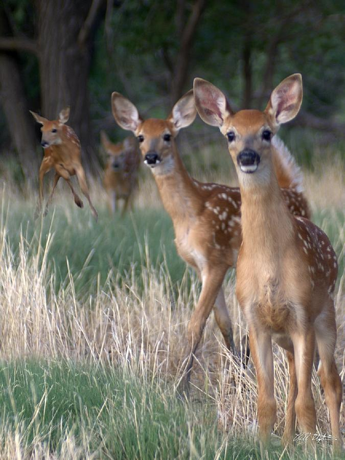 Deer Photograph - Fawns Fawns by Bill Stephens