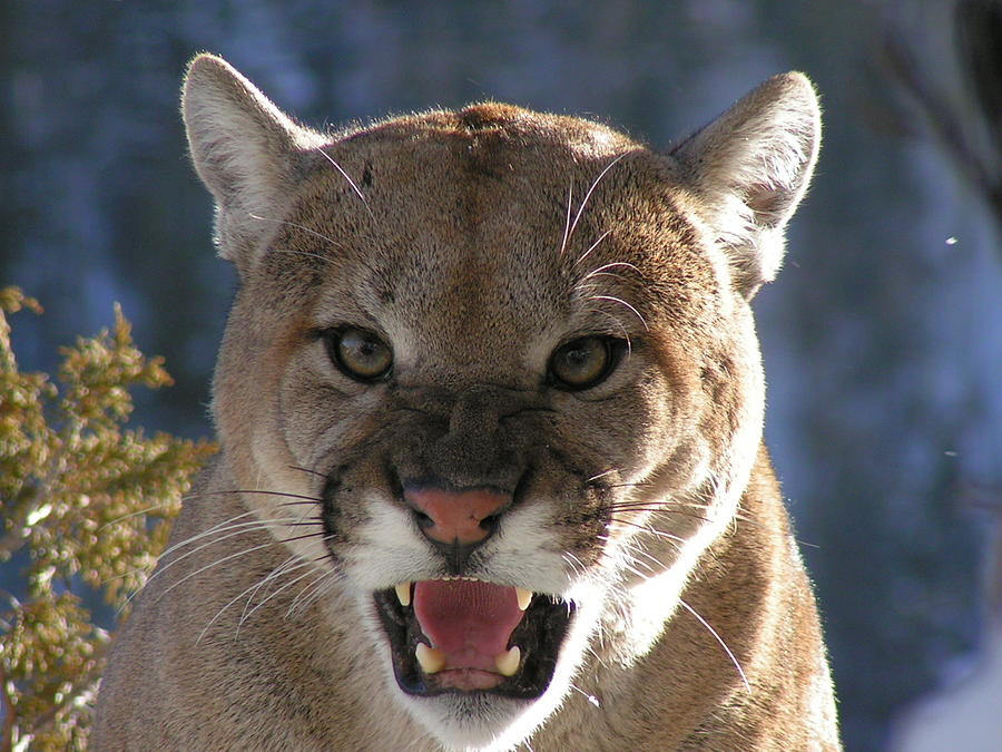 Cougar Photograph - Fear by Daniel Lyons