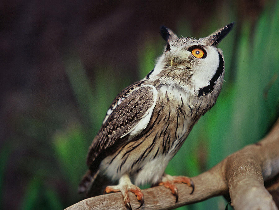 Alert Photograph - Fearful Owl by Miguel Capelo