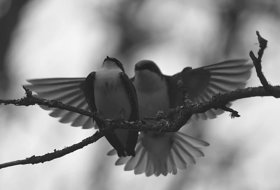 Swallow Photograph - Feathered Encounter by Angie Vogel
