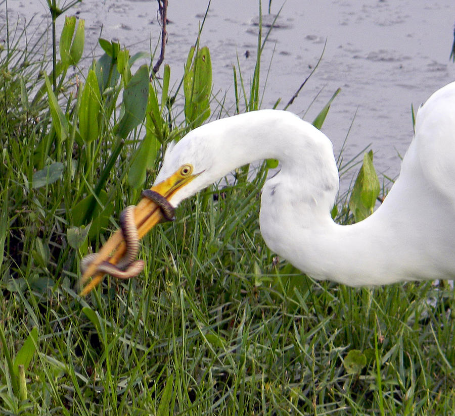 Egret Photograph - Feathers And Scales by Christy Usilton
