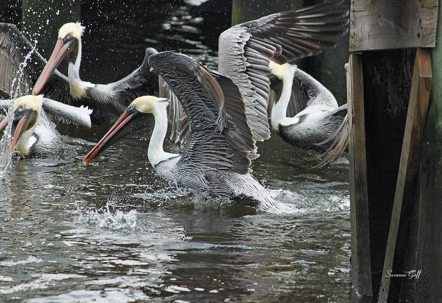 Pelican Photograph - Feeding Frenzy by Suzanne Gaff