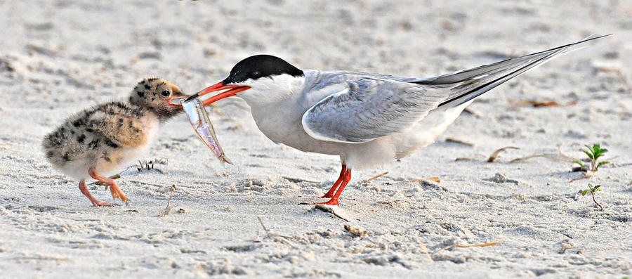 Tern Photograph - Feeding Time by Dave Mills