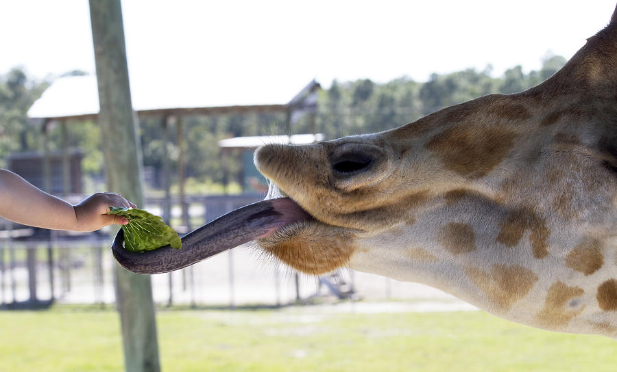 Giraffe Photograph - Feeding Time by Rebecca Cozart