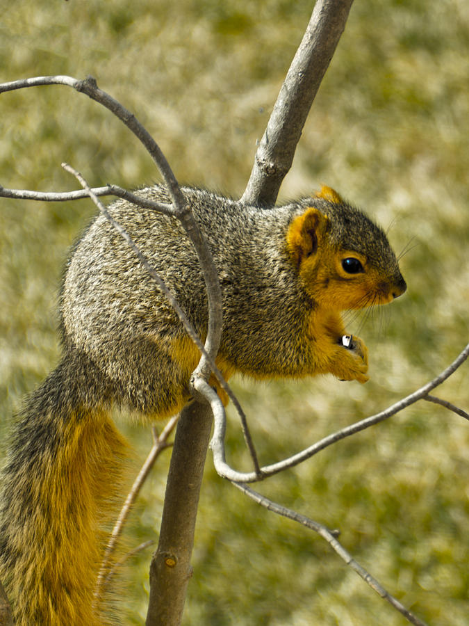 Usa Photograph - Feeding Tree Squirrel by LeeAnn McLaneGoetz McLaneGoetzStudioLLCcom
