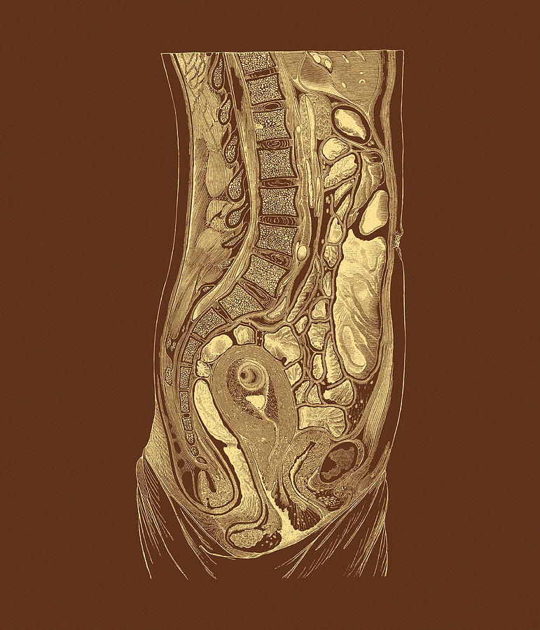 Female Abdominal Anatomy Photograph By Mehau Kulyk