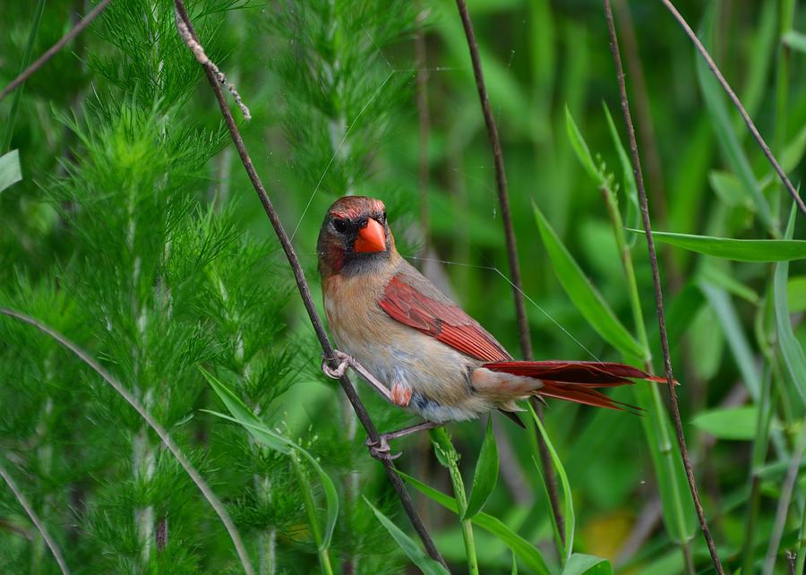Cardinal Photograph - Female Cardinal - C5527a by Paul Lyndon Phillips
