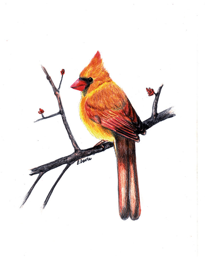 Female Cardinal Drawing by Betsy Davis