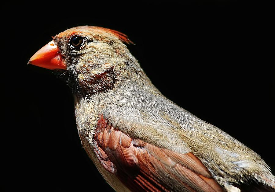 Cardinal Photograph - Female Cardinal by Paulette Thomas