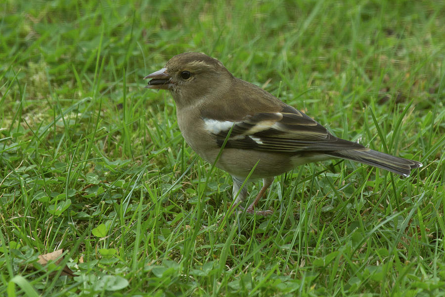 Finches Photograph - Female Chaffinch by Celine Pollard