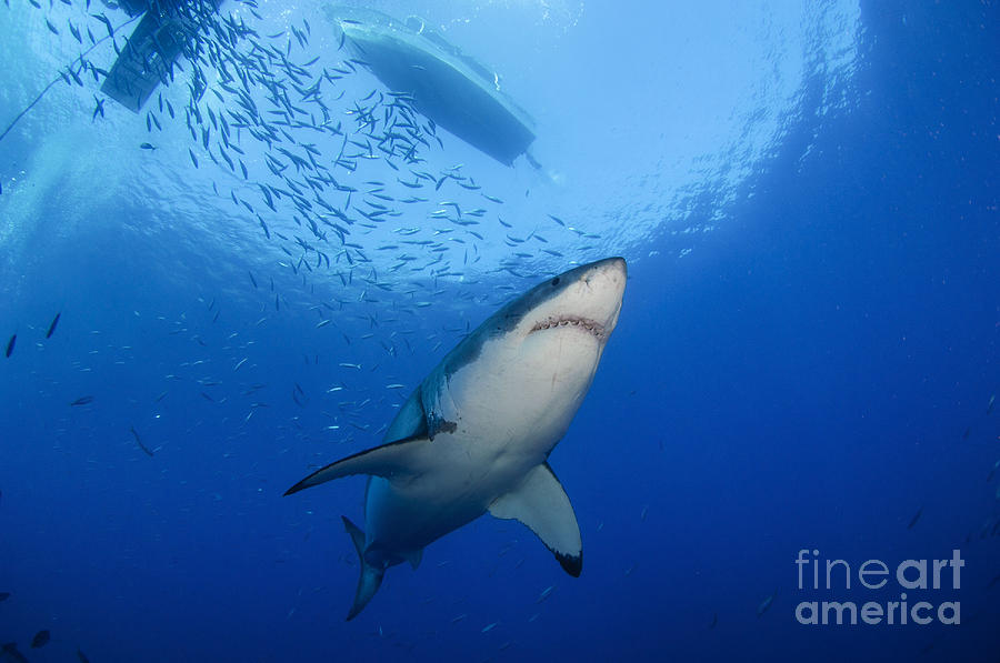 Great White Shark Photograph - Female Great White, Guadalupe Island by Todd Winner