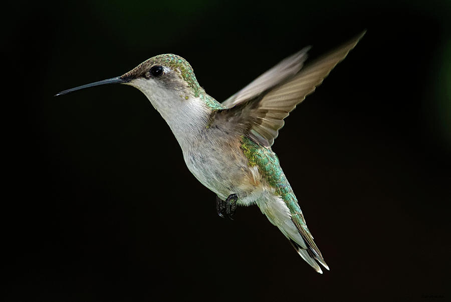 Horizontal Photograph - Female Hummingbird by DansPhotoArt on flickr