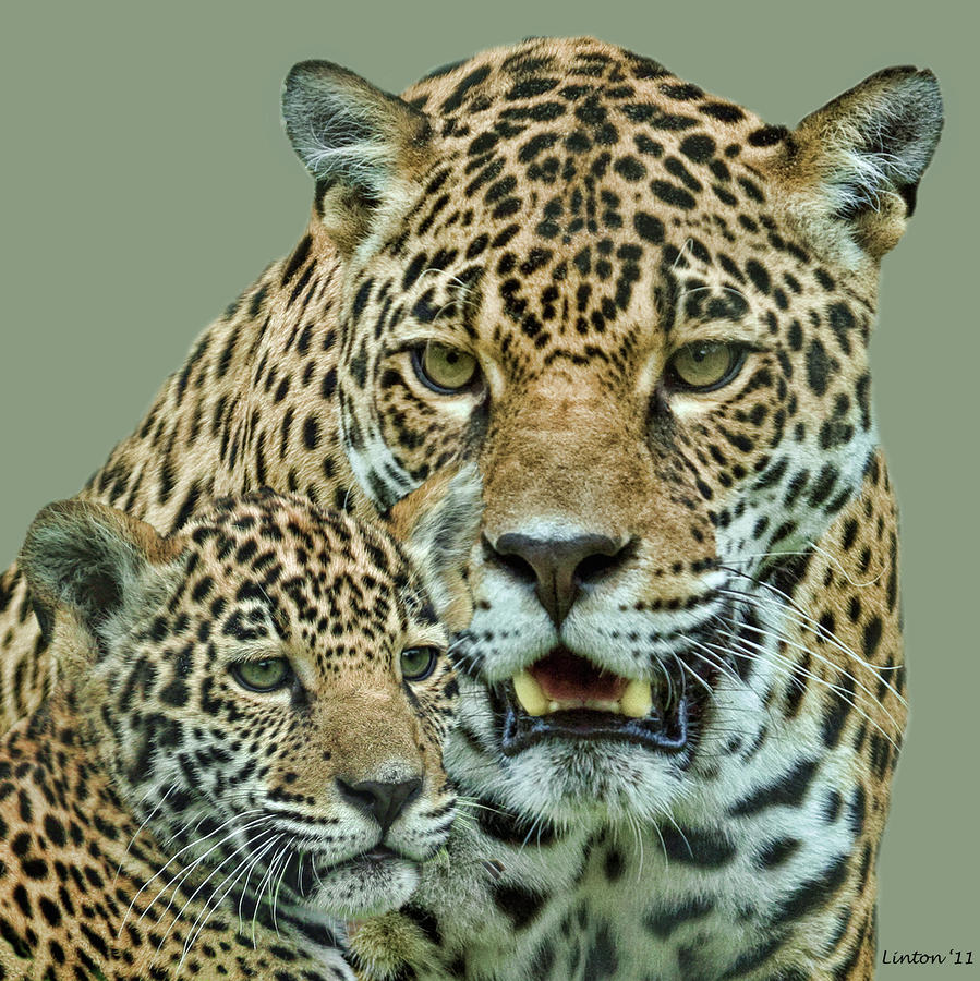 Jaguar Photograph - Female Jaguar And Cub 3 by Larry Linton