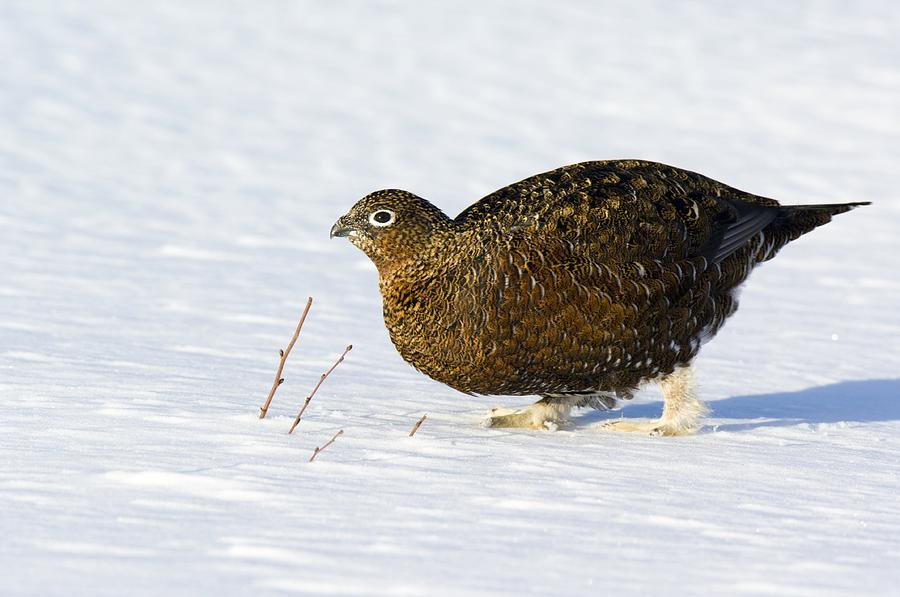 Red Grouse Photograph - Female Red Grouse In Snow by Duncan Shaw