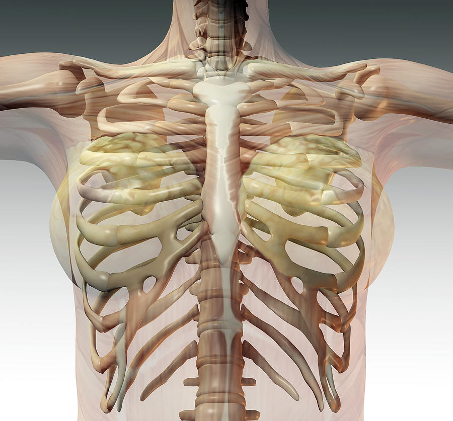 Female Ribcage Photograph By Friedrich Saurer