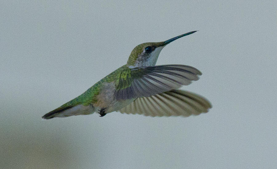 Humming Bird Photograph - Female Ruby by Dean Bennett