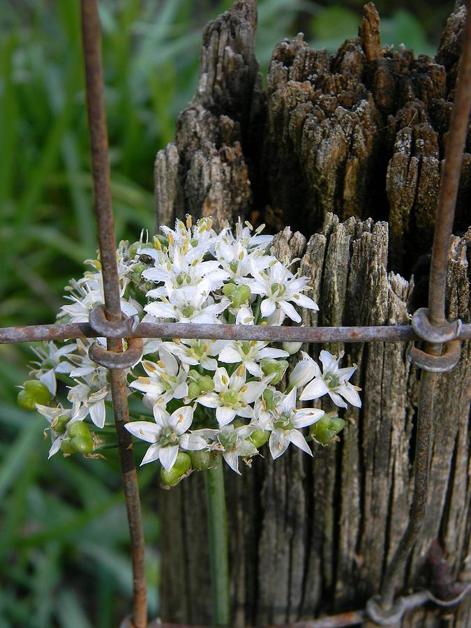 Fence Photograph - Fence And Flower by Warren Thompson