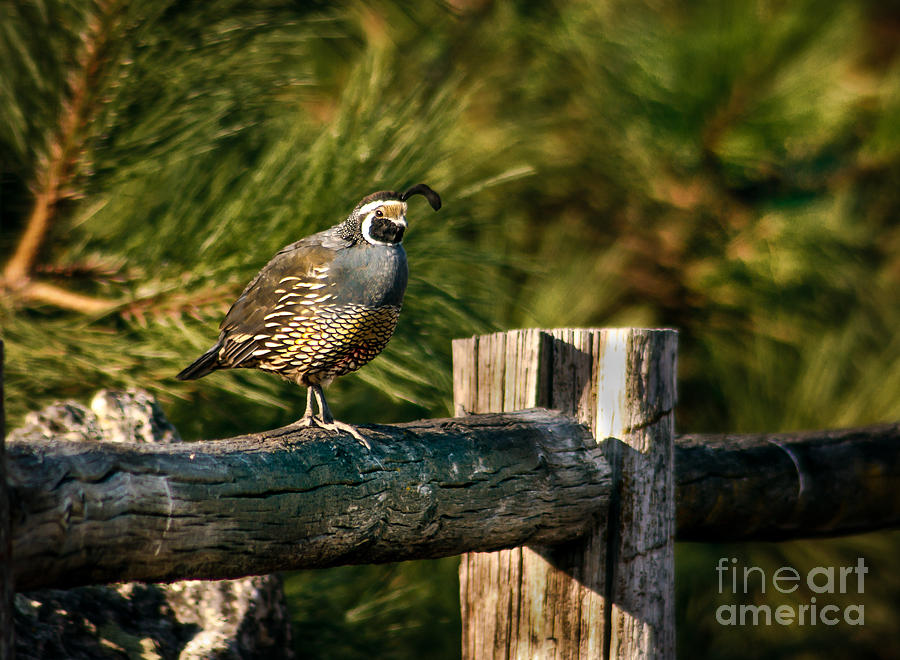 Birds Photograph - Fence Rider by Robert Bales