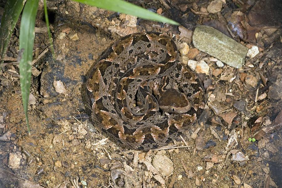 Fer-de-lance Photograph - Fer-de-lance Snake by Bob Gibbons