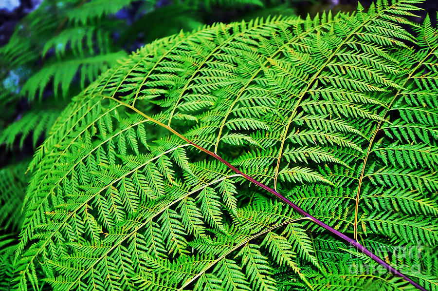 Fern Frond Photograph - Fern Frond by Kaye Menner