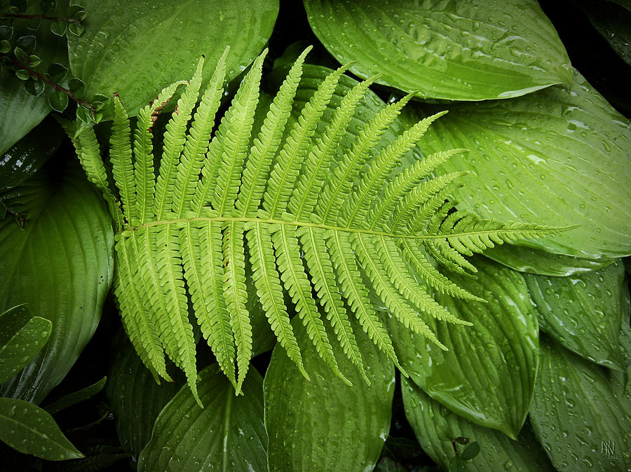 Leaf Photograph - Fern On Top by Nafets Nuarb